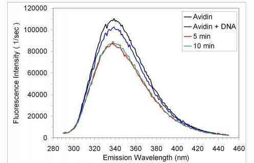 Figure 4. Steady emission spectrum of avidin trpytophan fluorescence as a function of time in the absence and presence of damaged, native DNA. Data were collected at 23C, in the presence of buffer (10 mM sodium phosphate, pH 7.4, 0.1 M NaCl ). Tryptophan florescence was excited at a 275 nm. The concentration of DNA and avidin were approximately 2 pM and 5 nM, respectively. The data shown represent one trial out of two independent trials.