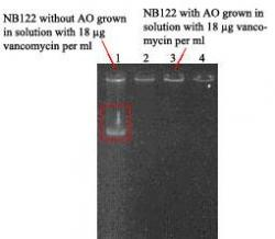Figure 3. Gel of plasmid isolations. Lanes 1-4 represent NB122 without AO, NB107 without AO, NB122 with AO, and NB107 with AO, respectively, grown in solution with 0.018 mg vancomycin per ml. (Note: red box on gel shows the band of plasmid DNA from NB122 grown without AO.)