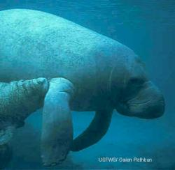 Florida manatee (Trichechus manatus). Source: U.S. Fish and Wildlife Service/Galen Rathbun.