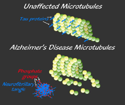 Figure 3. The stabilization of microtubules by tau protein and the effects of hyperphosphorylation, as in Alzheimer's disease.