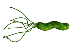 A drawing of the H. pylori organism. The Gram-negative spirillum measures about 3.0 by 0.5 micrometers. Its four to six flagella power it. Source: Concrete Bob Software.