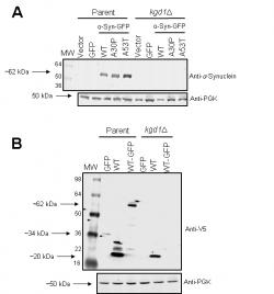 Figure 4. Expression of α-Synuclein in the Parent and kgd1∆ Strains; A. For all samples, α-synuclein-GFP expression was induced for 24 hours and detected using an anti-α-synuclein monoclonal primary antibody (1:2000). In the parent strain, WT, A30P, and A53T α-synuclein-GFP displayed similar expression, however, in the kgd1∆ strain, α-synuclein-GFP expression was diminished. Anti-phosphoglycerate kinase (PGK) primary monoclonal antibody (1:5000) was used as a loading control. Vector denotes the pYES2.1 plasmid without GFP or α-synuclein. Results were verified in a second trial (data not shown). B. Compared to the parent strain, all foreign proteins in kgd1Δ had diminished expression. Additionally, non-GFP tagged WT-α-Synuclein in the parent exhibited increased expression and variable banding when compared to WT-α-Synuclein-GFP. Results were verified in a second trial (data not shown).