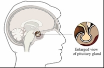 The pituitary gland is an endocrine gland that is responsible for regulating homeostatic processes such as body growth and blood pressure. It also stimulates the body in response to the binding of caffeine on nerve cells. Image courtesy of Yahoo! Health