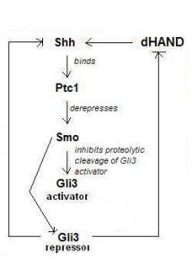 Figure 5: Sonic hedgehog (Shh) binds its receptor Patched (Ptc1) which activates the previously repressed transmembrane domain Smo. Derepression of Smo inhibits the proteolytic cleavage of activator Gli3. This prevents direct repression (and indirect repression through dHAND) of Shh.