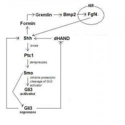 Figure 6: Secretion of Shh from the ZPA promotes forming expression which confers competence on mesenchymal cells for Gremlin. Gremlin then binds to, and antagonises, Bmp2 which facilitates secretion of Fgf4 from the AER. Fgf4 in turn up-regulates Shh.
