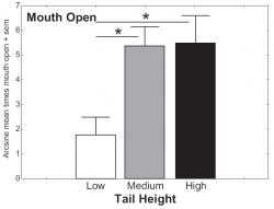 Figure 4: Mean arcsine transformed data of the proportion of the canine subjects who displayed Mouth Open in the presence of a human experimenter. All subjects were shelter dogs and were categorized as to the predominant carriage of the tail. Dogs that had a low tail carriage had their mouths open significantly less than both dogs that had a high tail carriage as well as a medium tail carriage.