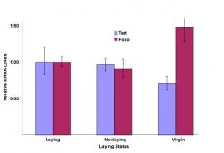 Figure 3 - Comparison of Tert and FOXO levels in laying, non-laying, and virgin queens.