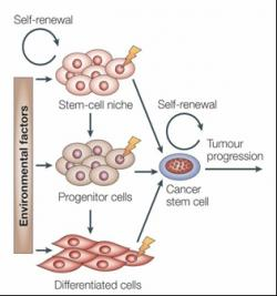 Cancer stem cells can arise from a variety of different sources. At any stage of development, mutations (lightning bolts) may accumulate enough to turn stem cells bad, or give non-stem cells stemlike abilities. Cancer stem cells may also form from the fusion of a stem cell and a mutated normal cell (not shown) Image Courtesy of Nature