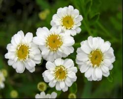 The feverfew plant contains a compound that has been shown to effectively and selectively induce cellular suicide in AML stem cells. Image Courtesy of Herbalextractsplus.com