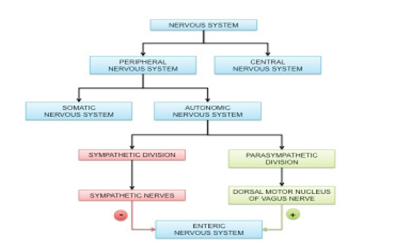 Figure 1. Flow diagram outlining how the nervous system interacts with the gastrointestinal tract. The nervous system has two components: central, which includes the brain and spinal cord, and peripheral, which comprises all the nerves that extend throughout the body. The peripheral nervous system is further divided into somatic and autonomic nervous systems. The autonomic nervous system includes sympathetic and parasympathetic divisions. The sympathetic division controls the fight or flight response, while the parasympathetic division mediates the rest and digest response. The sympathetic division acts through sympathetic nerves to inhibit enteric nervous system (ENS) activity. The parasympathetic division acts primarily through the dorsal motor nucleus of the vagus nerve to stimulate ENS activity.