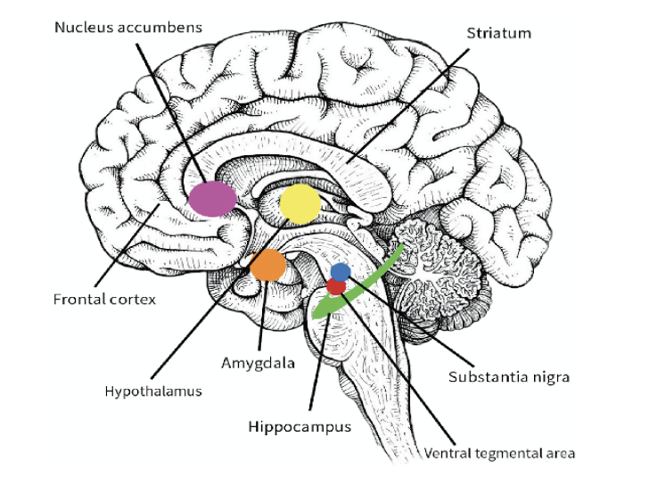 Figure 2. Cortical areas activated in the onset of emotion.  The activation of different cortical areas cause the onset of different possible emotions in which an individual can experience. Positive emotions are correlated with the activation of mesolimbic structures such as the frontal cortex, the nucleus accumbens, the striatum, the ventral tegmental area, the substantia nigra, and the hippocampus. Negative emotions are correlated with the activation of structures such as the hypothalamus, the amygdala, the nucleus accumbens, and the hippocampus (Baumgartner, Esslen, & Jäncke, 2006).