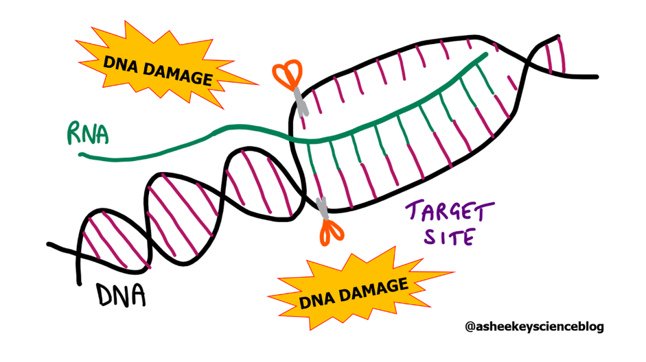 Figure 1 Simplified diagram of the application and consequences of CRISPR-Cas9 gene editing