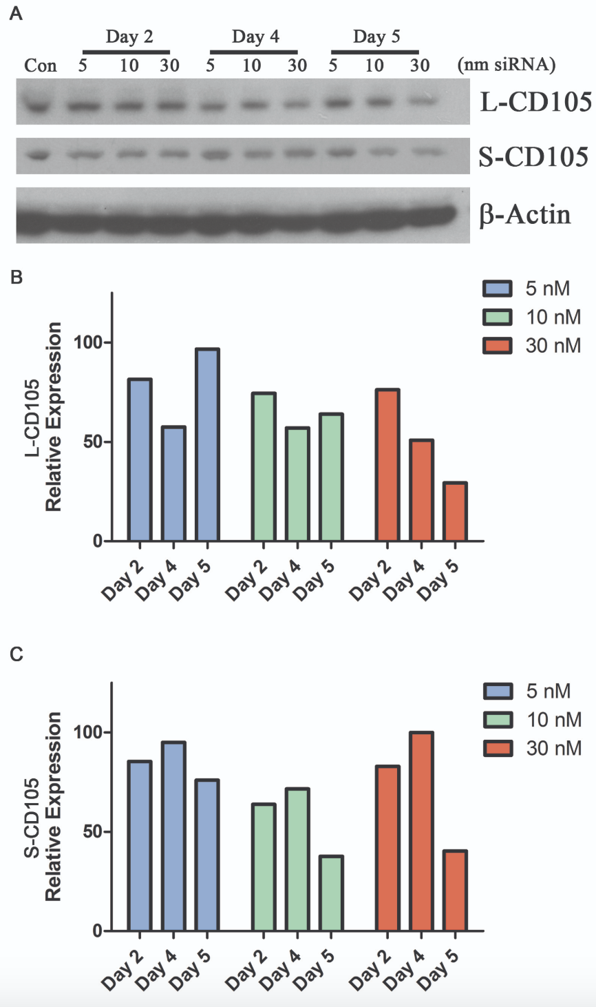 Figure 2. Optimizing the siRNA transfection protocol.  A) mAo progenitors were transfected with a range of CD105 siRNA concentrations (5-30 nmole) and transfection efficiency on days 2, 4, and 5 post-transfection was confirmed by Western blot. B-C) Densitometry was used to quantify expression of the long (B) and short (C) forms of CD105 at the protein level.