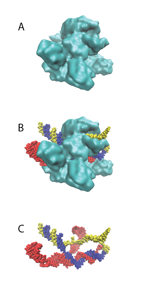 Figure 2. Cas9 structure.  A representation of the SpCas9 structure (PDB ID 5Y36) (Huai et al.,2017) in complex with sgRNA (red) and target DNA is shown (B). The complementary and non-complementary strands of the target DNA are indicated in blue and yellow, respectively. The complex with either nucleic acids or SpCas9 removed are shown in panels A and C, respectively.