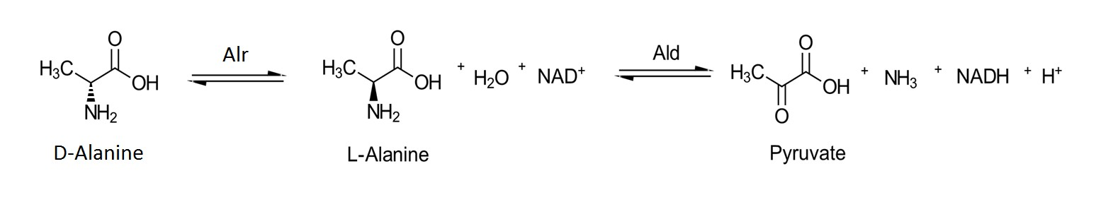Figure 3. Isomerization of D-alanine to L-alanine in the presence of Alr followed by the NAD+ dependent oxidation of L-alanine to pyruvate in the presence of alanine dehydrogenase.