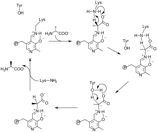 Figure 4. The mechanism of Alr catalysis for D-alanine to L-alanine direction.