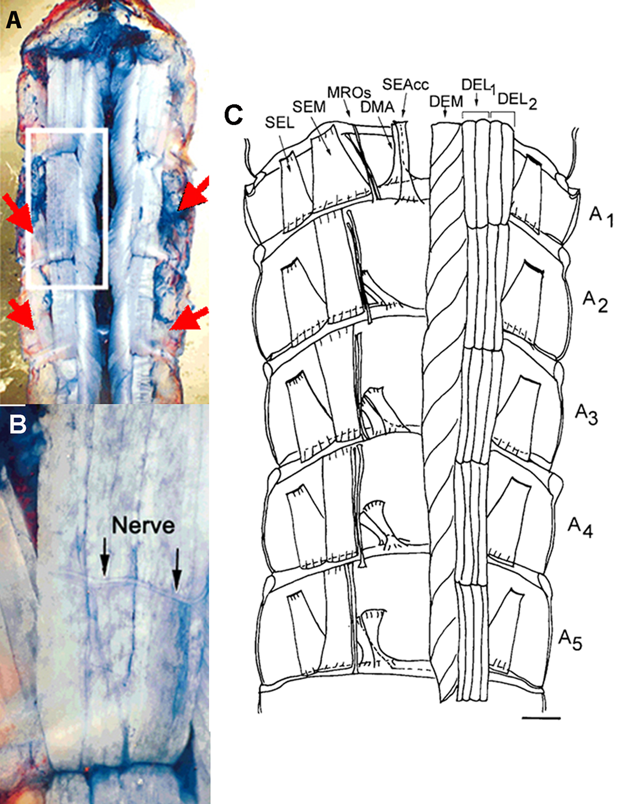 Figure 1. Dorsal part of the crayfish abdomen showing the extensor musculature in the crayfish.  (A) The segmental nerve approaches the extensor muscle from the lateral-caudal aspect of each segment. The nerve is close to the SEL muscle. The red arrows depict the approximant locations where the segmental nerve can be located. (B) In this enlarge view the motor nerve can be seen on the surface of the DEL muscle and branching as it heads to the DEM muscle. (C) Schematic drawing from a ventral muscle with labels for the deep extensor medial (DEM), deep extensor lateral group1 (DEL1) and deep extensor lateral group2 (DEL2) used in this study (Scale bar = 2.35 mm; part C modified from Sohn et al., 2000).
