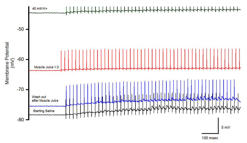 Figure 3. Relationship in size of the EJPs and membrane potential for muscle homogenate (one part muscle homogenate and three parts saline) and 40 mM [K+]o from SEL muscle.  Note only stimulus artifacts are present with the muscle homogenate exposure but with 40 mM K+ EJPs are still observed even with a more depolarized resting membrane potential.