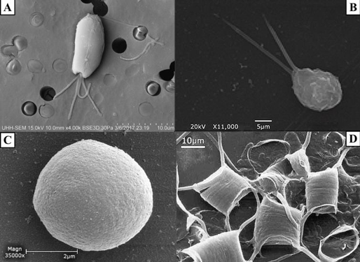 Figure 1. SEM images of A)  Tetraselmis chuii  (10 µm), B)  Isochrysis galbana  (5 µm), C)  Nannochloropsis granulata  (2 µm), and D)  Chaetoceros gracilis  (10 µm), used throughout the experiment.