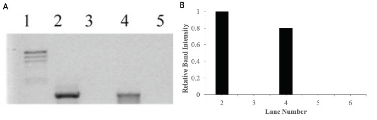 Figure 3. (A)  Agarose gel electrophoresis results of PCR amplified product when DNA was incubated for 60 mins with increasing concentrations of metal complex, [Ru(biq)2(dpp)]2+, photolyzed with visible light (visible light at λ_irr ≥ 550 nm for 30 minutes). In Gel A, Lane 1 is the molecular weight marker (24kbp, 9.4kbp, 6.6kbp, 4.4kbp, 2.2kbp), Lane 2 is a positive PCR control showing the 1228 bp fragment produced using pUC18 DNA as a template, Lane 3-6 is the product of PCR using pUC18 incubated with the complex, [Ru(biq)2(dpp)]2+, at bp/mc ratio of 1:1, 1:3, 1:5 and 1:6, respectively (bp = base pair, mc = metal complex).  (B)  The relative band intensity of each PCR product.