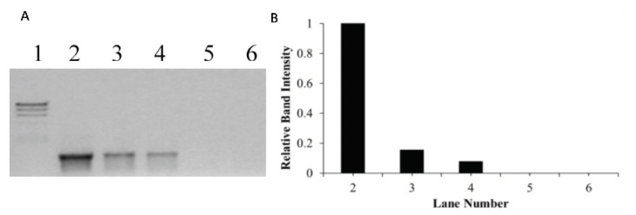 Figure 4. (A)  Agarose gel electrophoresis on PCR amplified product when DNA was incubated for 60 mins with increasing concentrations of cisplatin. Lane 1 is the molecular weight marker (24 kbp, 9.4 kbp, 6.6 kbp, 4.4 kbp, 2.2 kbp), Lane 2 is a positive PCR control showing the 1228 bp fragment produced using pUC18 DNA as a template, Lane 3-6 is the product of PCR using pUC18 incubated with cisplatin, at bp/cisplatin ratio of 1:1, 1:3, 1:5 and 1:6, respectively (bp = base pair, mc = metal complex).  (B)  The relative band intensity of each PCR product.