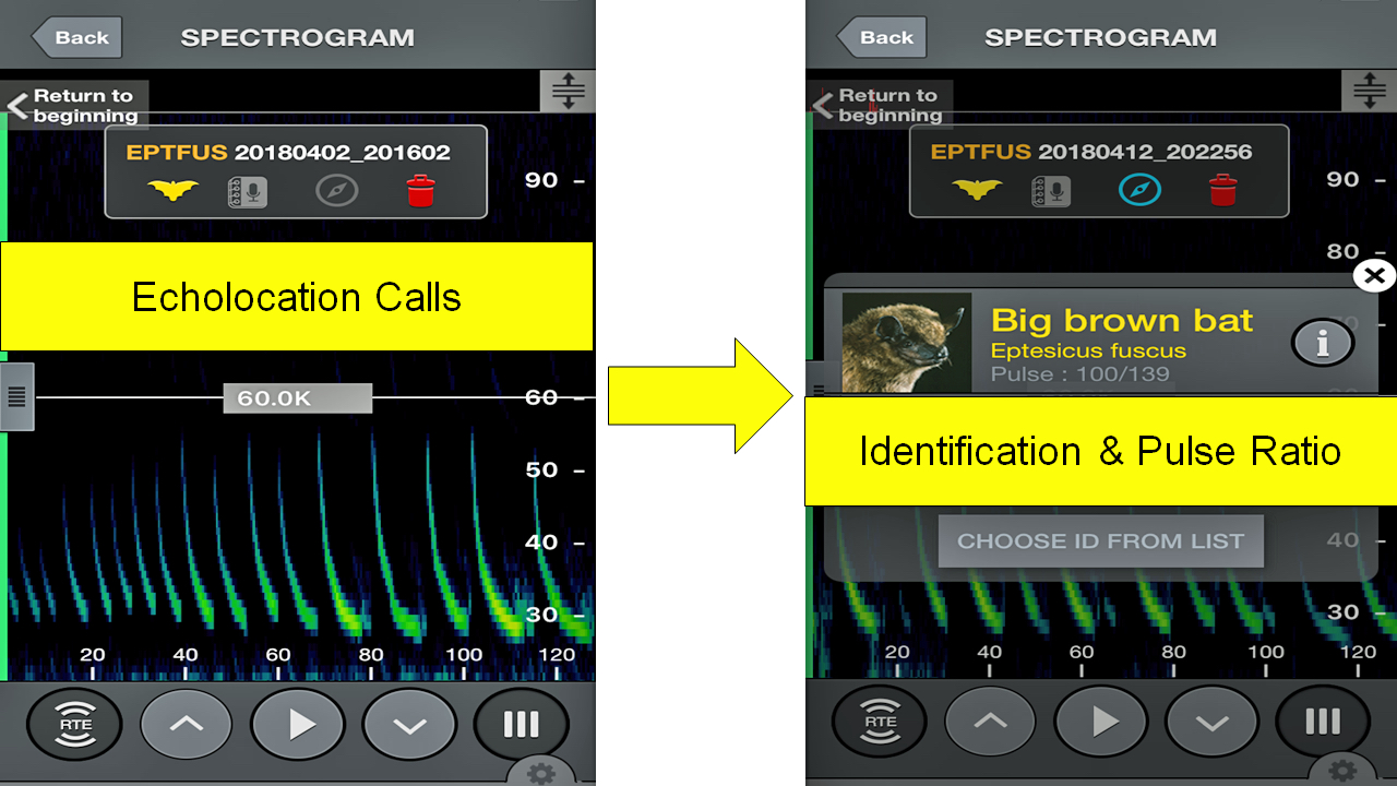 Figure 3. Echo Meter Touch 2 (Wildlife Acoustics) workspace screenshot.  Bat echolocation calls are shown with peaks below 60 Khz (left) and identification and pulse ratio shown with bat species identification (right).