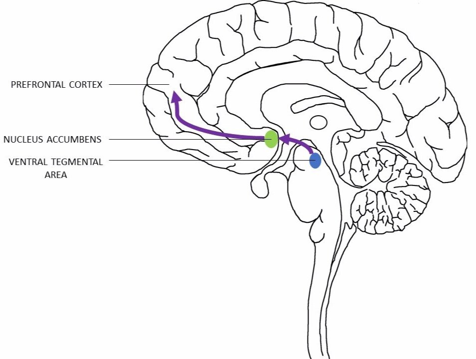 Figure 1. The flow of information in the brain reward pathway, from the ventral tegmental area to the nucleus accumbens (NA) to the prefrontal cortex  (National Institute on Drug Abuse, 2016; Lynch, 2006).