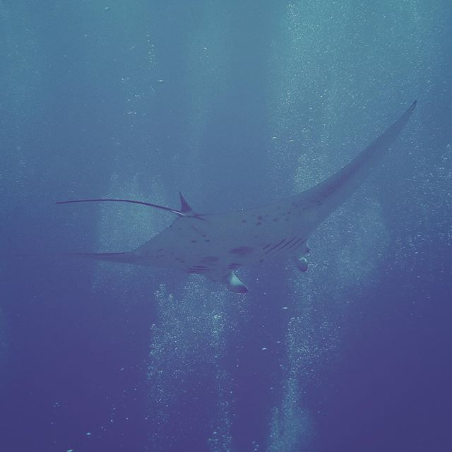 Saw my first ever Manta Ray today,  absolutely huge and such a gorgeous creature! She was very chilled out and swam past everyone and then off into the Blue. Absolutely amazing dive 😎👌 #mantaray #scuba #maldives