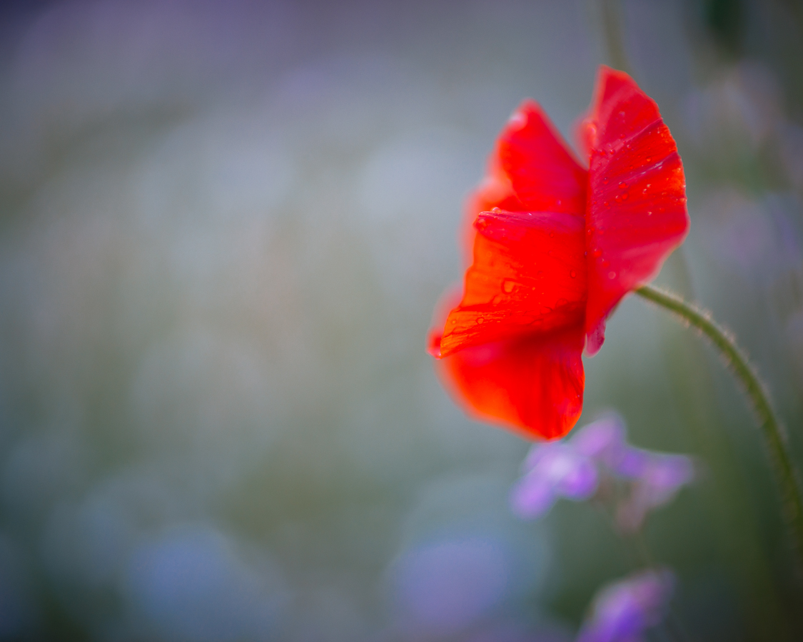 Poppy in our garden. Sony A7 + Canon FD 85mm/1.2L and Canon 500D diopter. Click to view large.