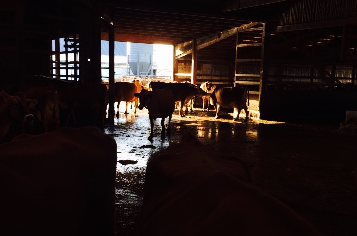 Cows in the barn at Twin Brook Creamery, Lynden, WA. Photo by William Dixon, 2015.