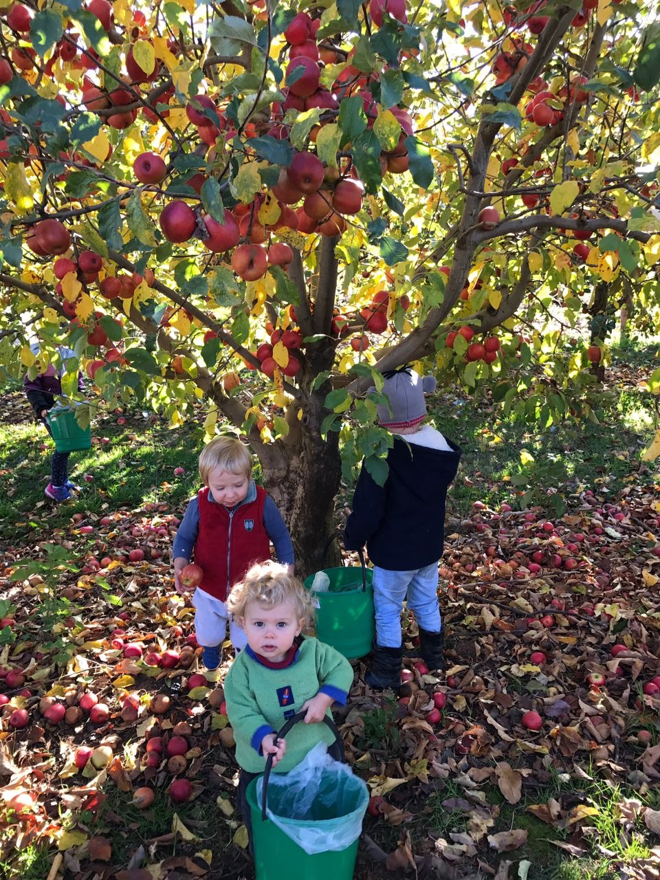 Enjoying apple picking at Hillside Orchard in Borenore, 10 minutes from Orange by car.