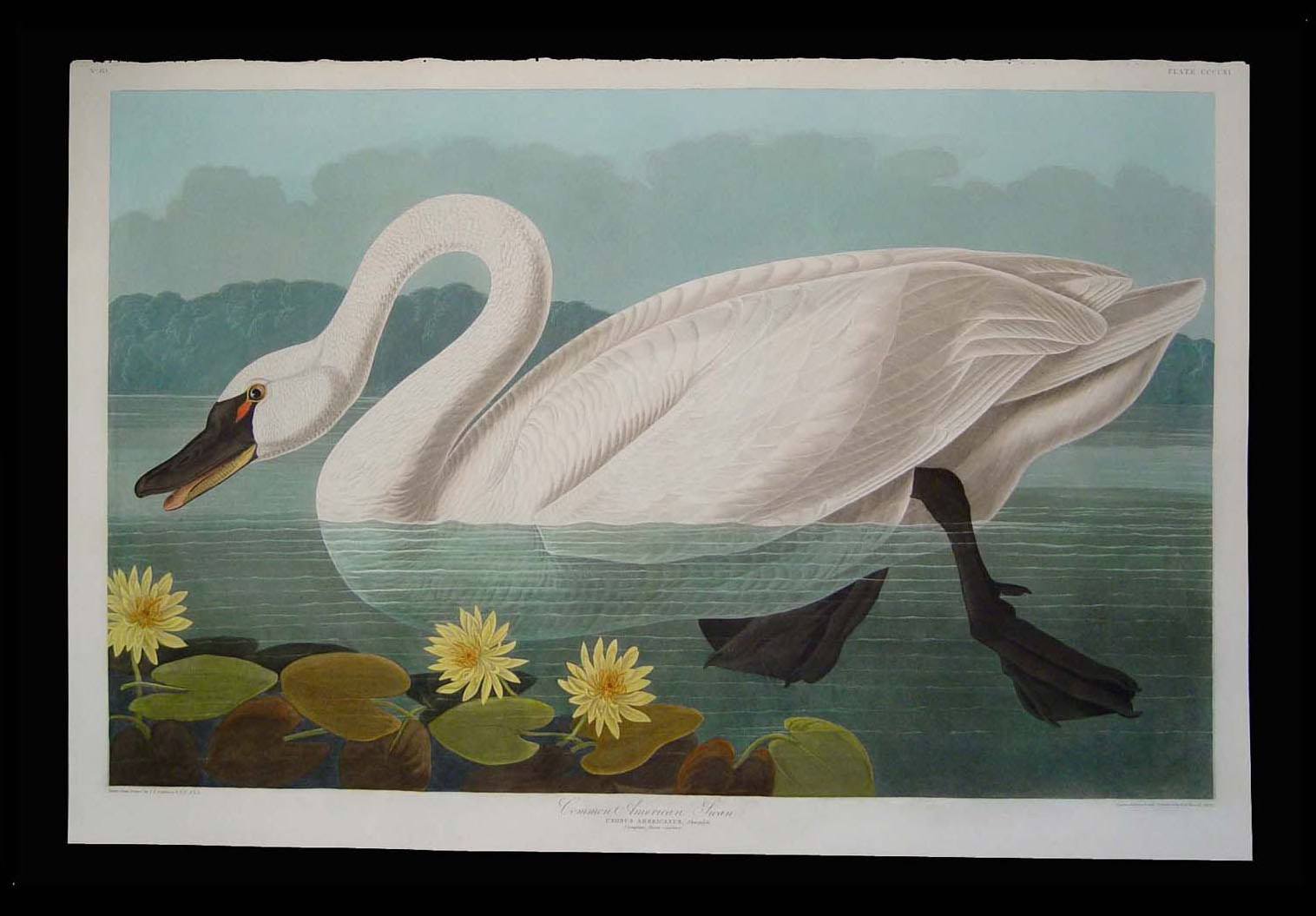 Audubon Swan After.jpg