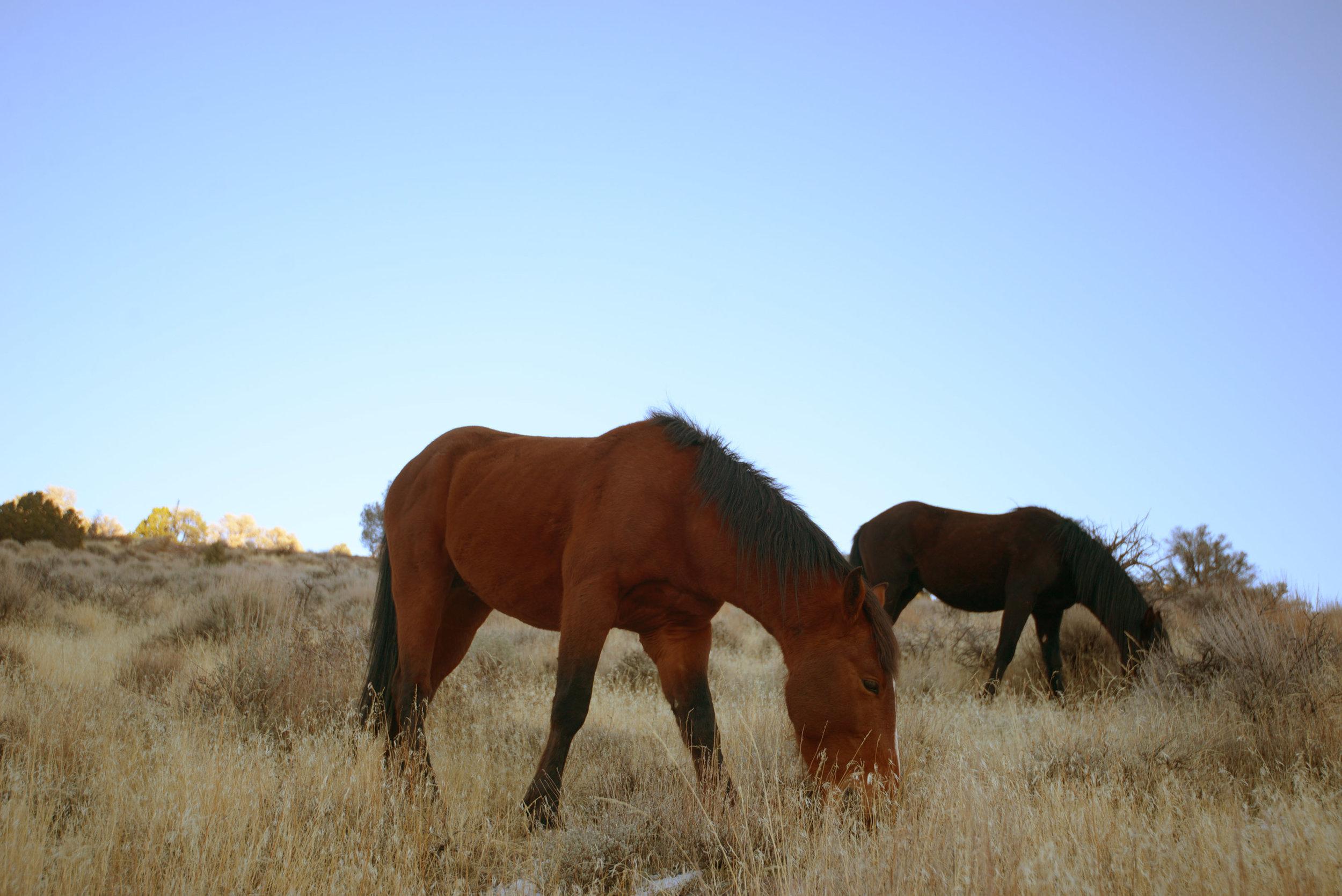 Wild horses around Virginia City.