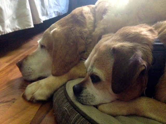 """Louie"" the puggle and ""Jake"" were the best of friends and often slept together.  Here ""Louie"" lays next to ""Jake"", right after he passed on."