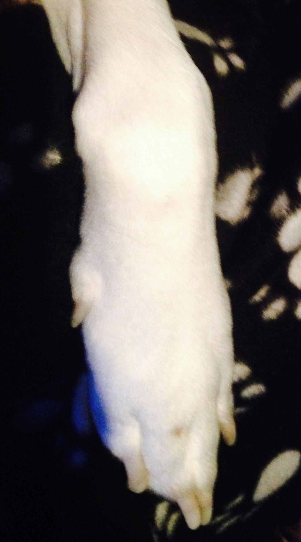 Normal front leg carpus (wrist area) on a dog