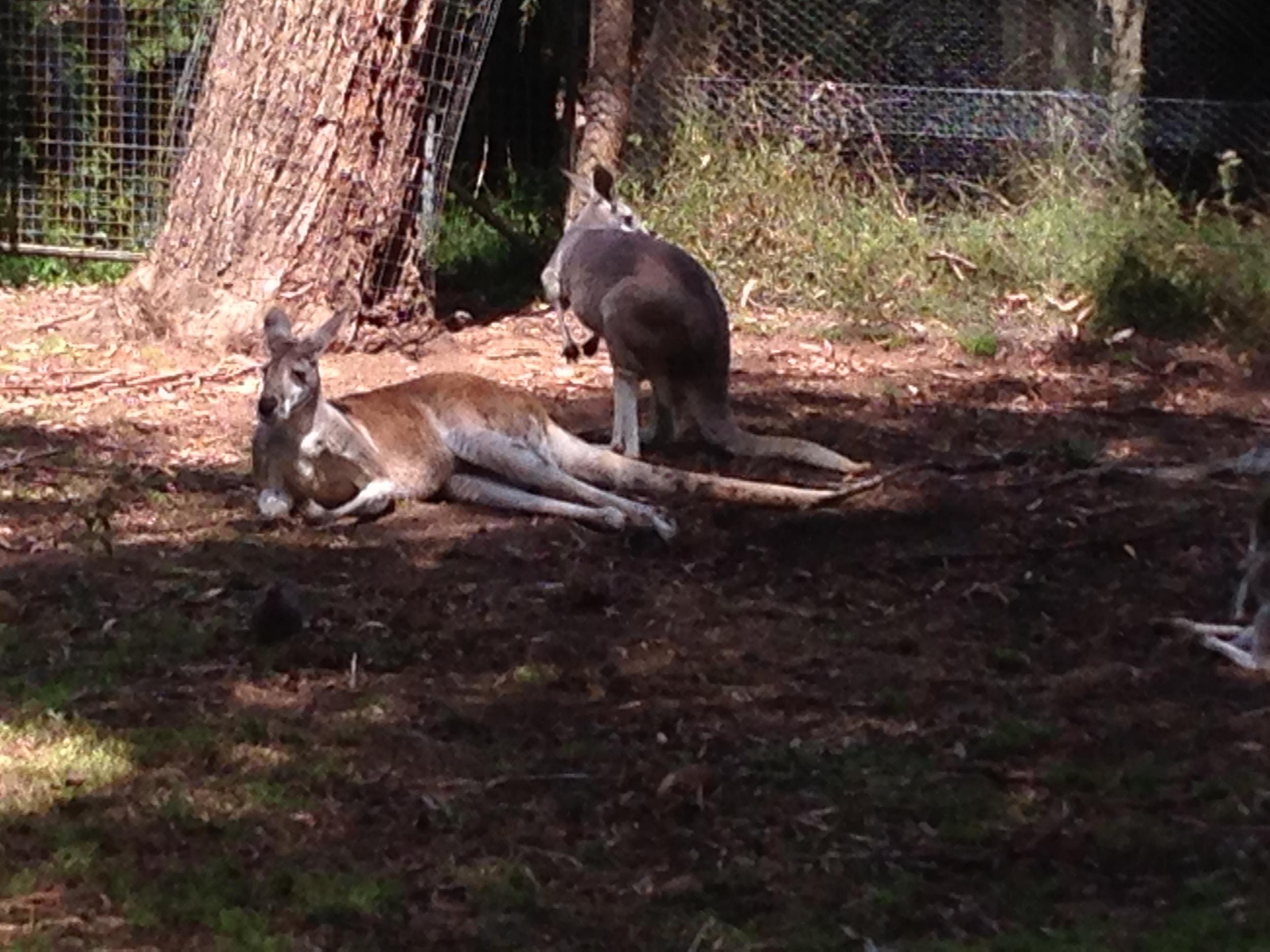 Kangaroos. They LOUNGE, I tell you. Photo credit: Martin Laskowski