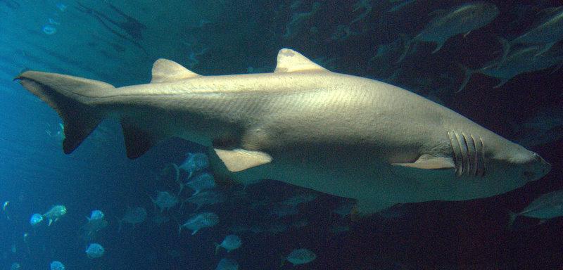 Tiburón (no me acuerdo de la especie)