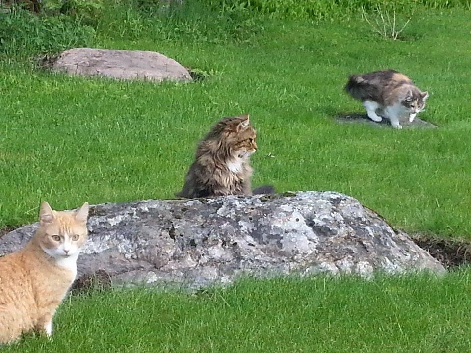 Sylvi, Elmeri ja Helmi kesälaitumella :D