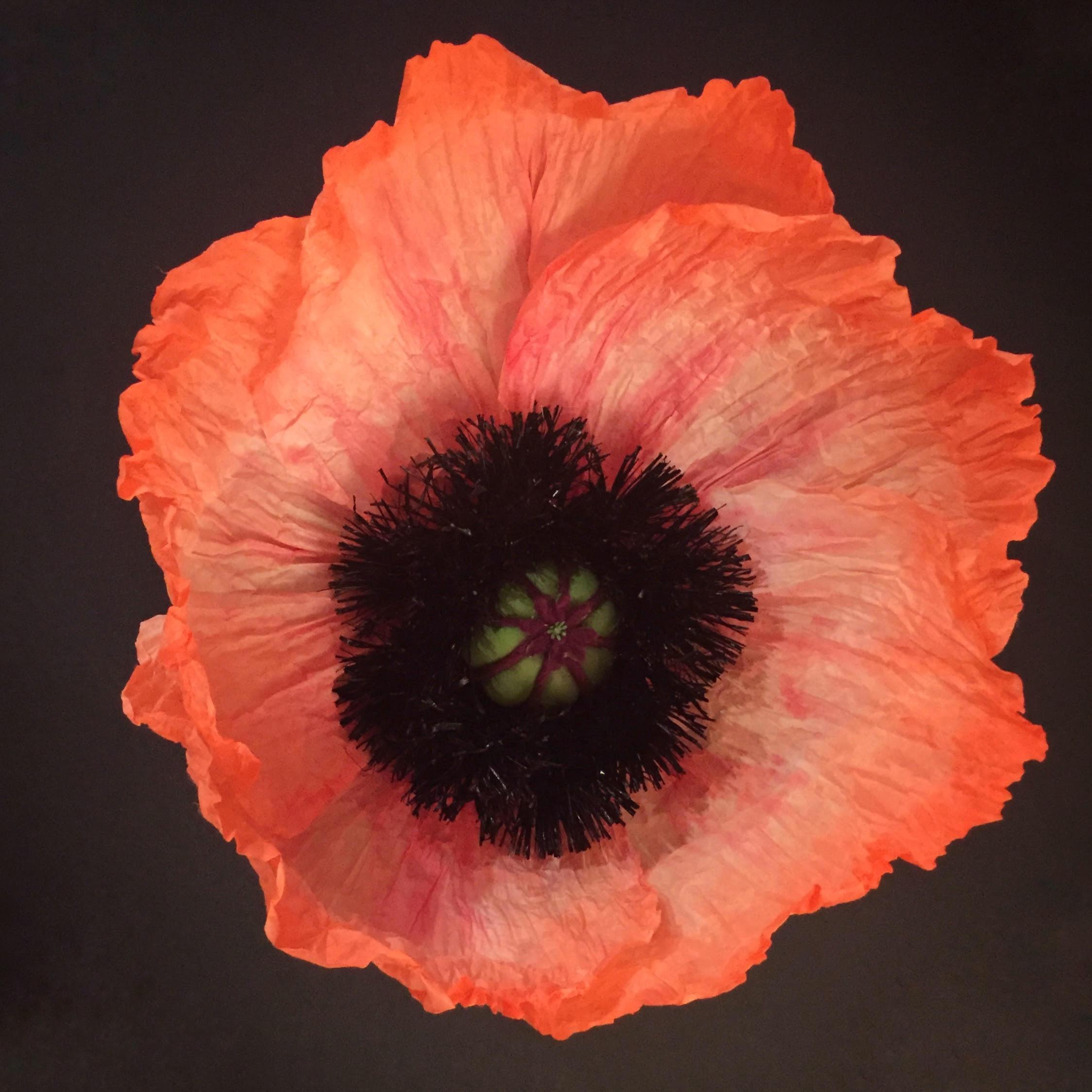 Oriental Poppy.jpg