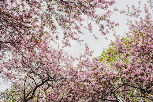 High Park Cherry Blossoms Photos-1.jpg