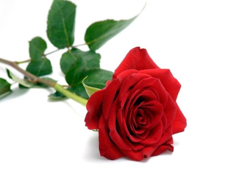 Red-Rose-04.jpg