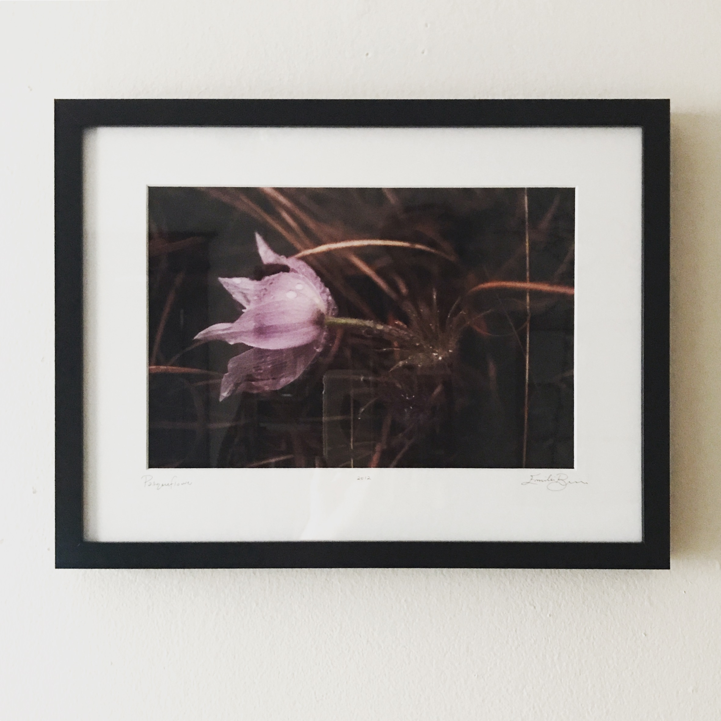 Pasqueflower   Inkjet print from slide film negative  CLEARANCE!! $60