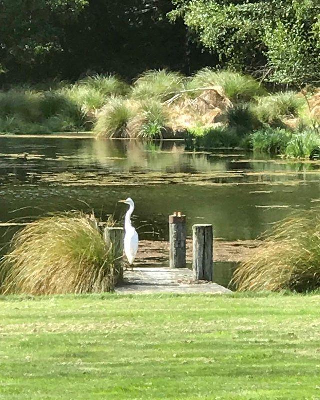 A visiting namesake in our garden #whiteheron #kotuku #nzbirds