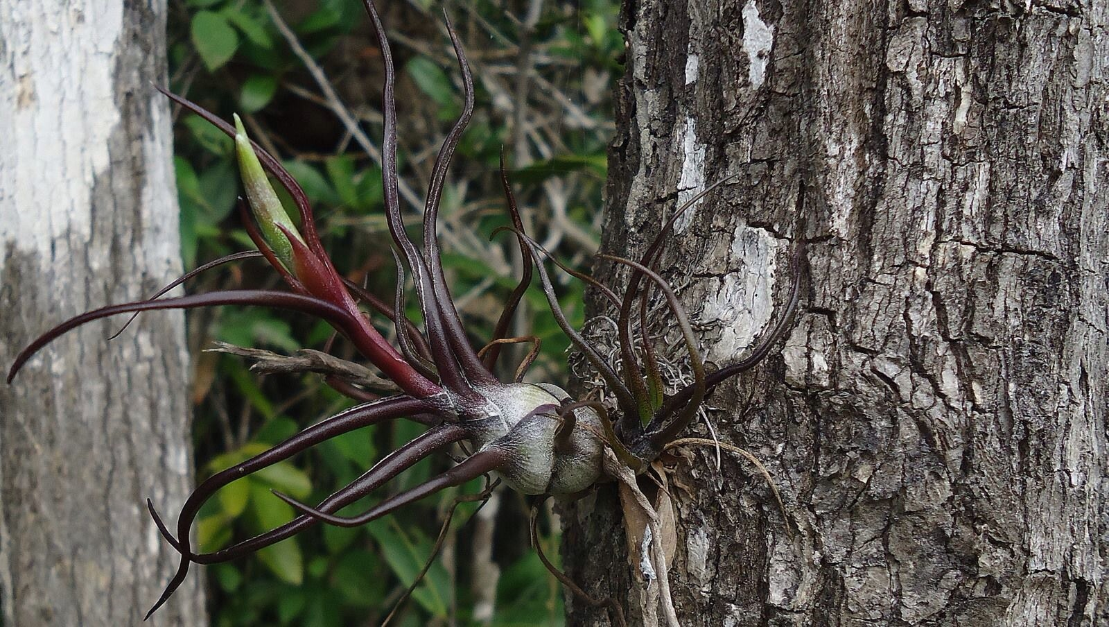 Tillandsias And Ants In Defense Of Plants