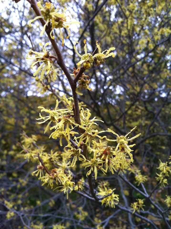 American Witch Hazel In Defense Of Plants