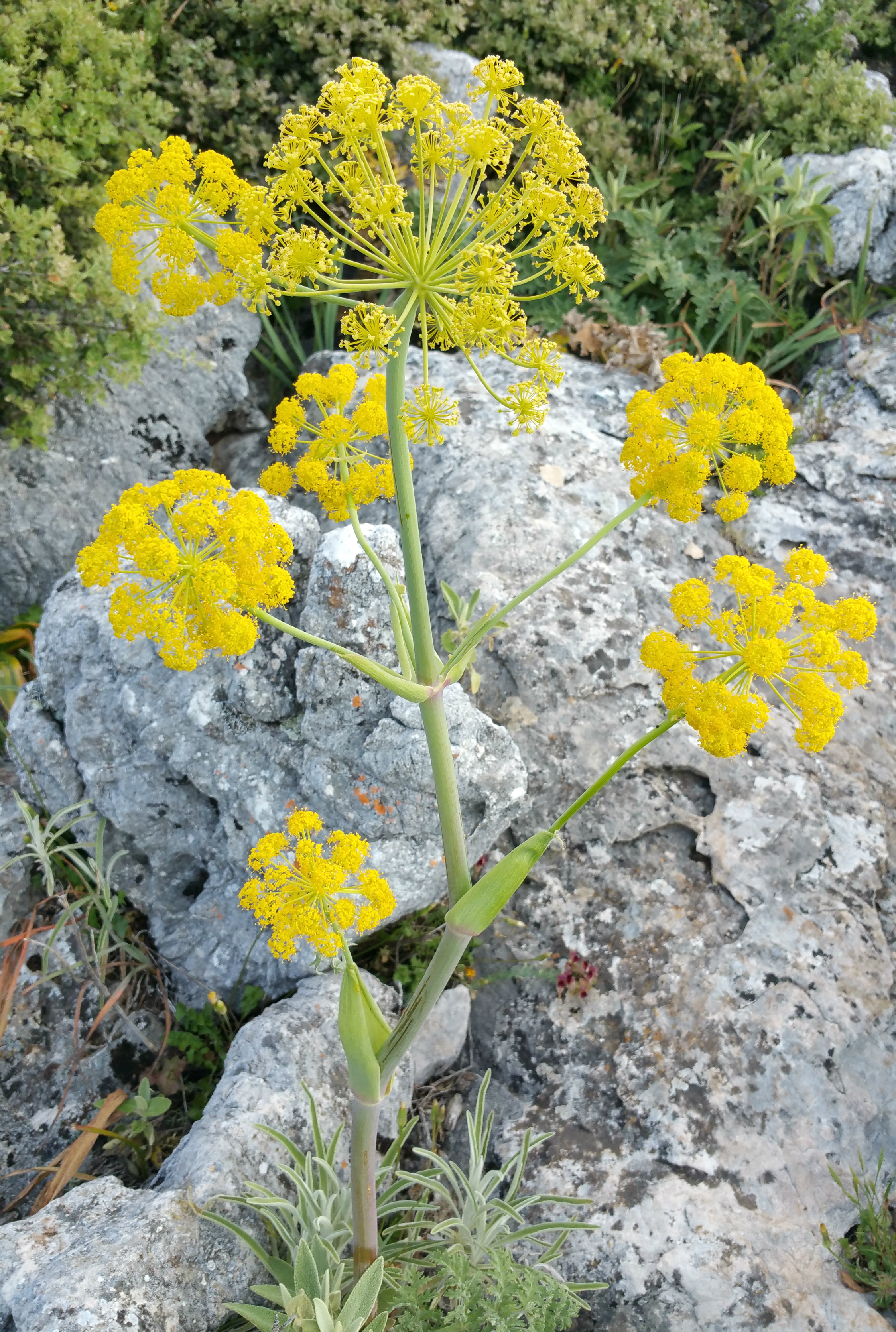 Ferula tingitana  is believed to be the closest extant relative of silphium.