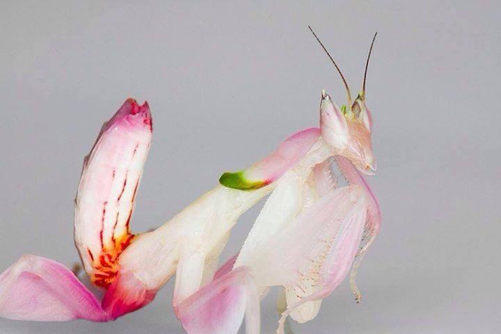 Orchid mantis nymphs are more brightly colored than adults.