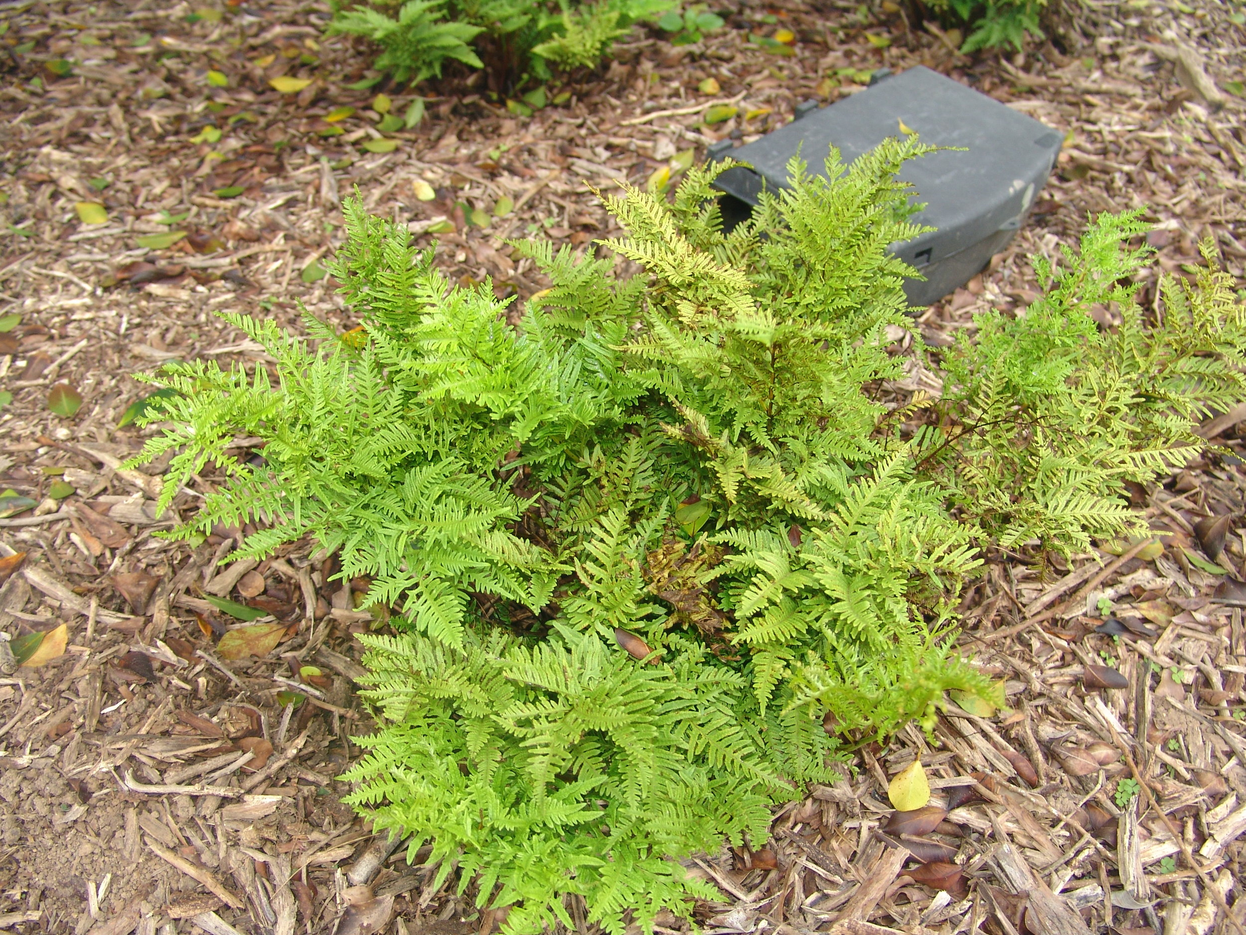 One of Ascension Island's endemic ferns - Pteris adscensionis