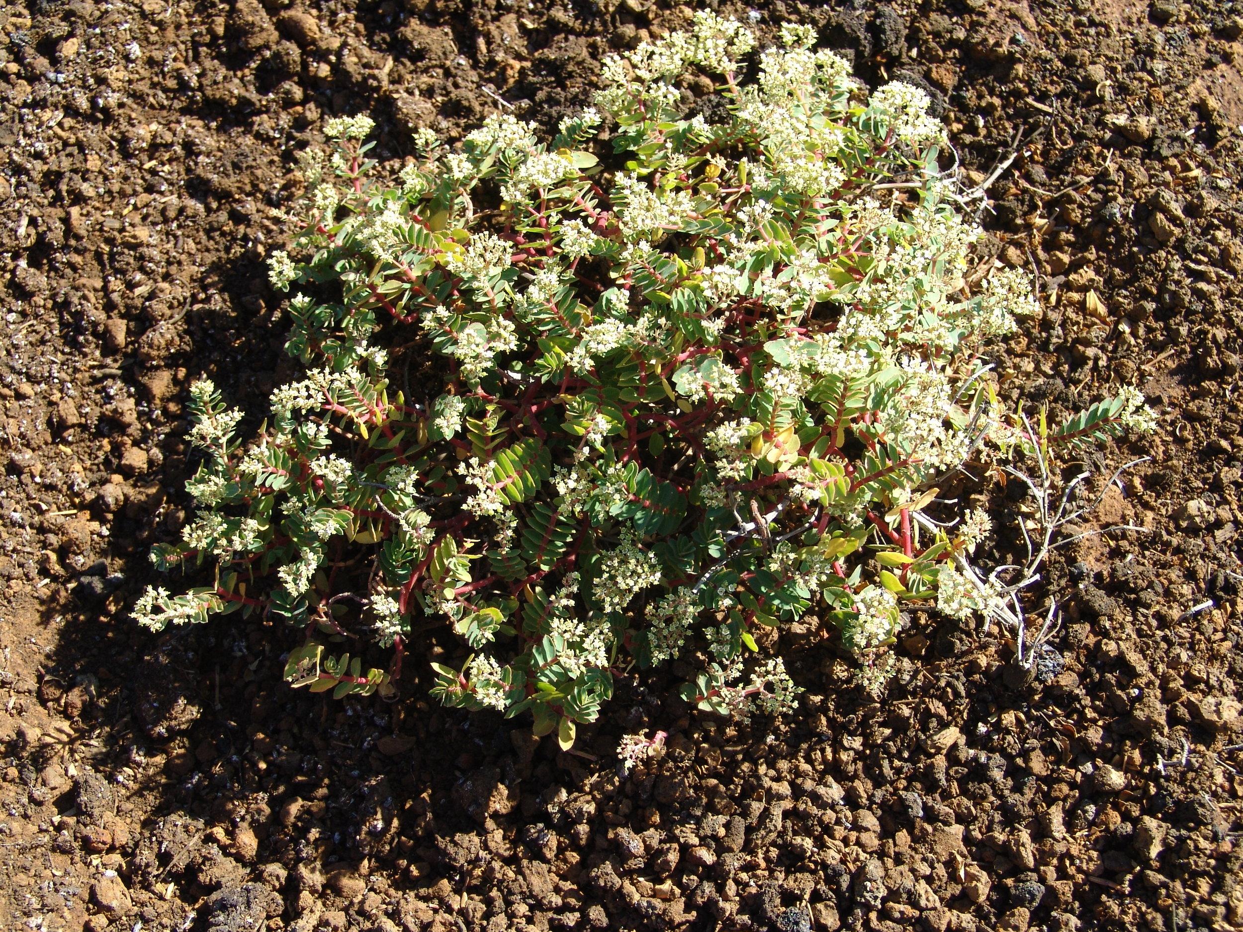 The endemic Ascension spurge ( Euphorbia origanoides )