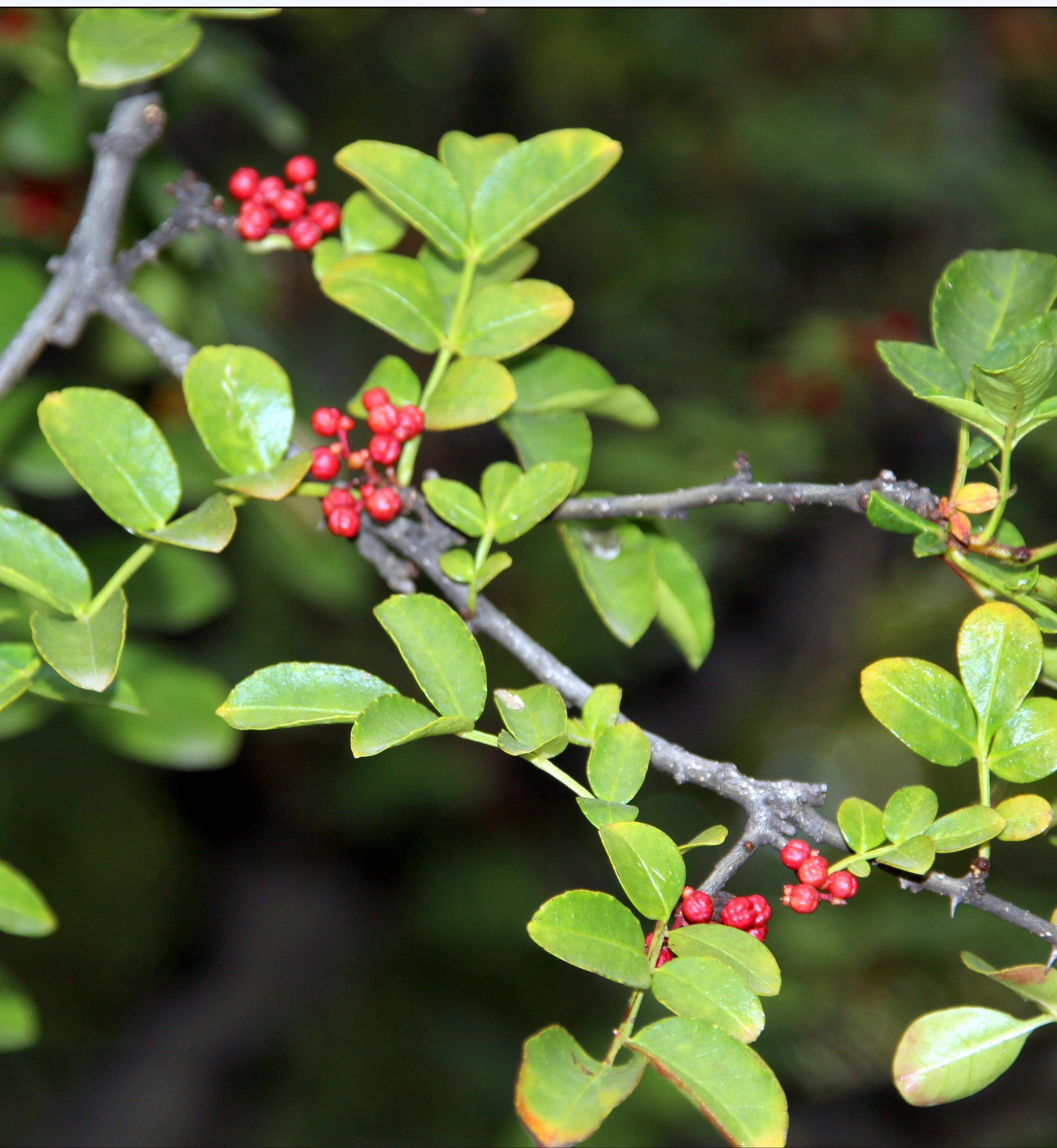 Prickly Ash ( Zanthoxylum americanum  )